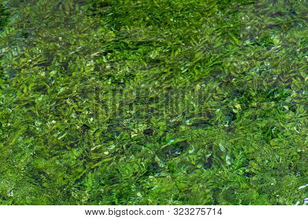 River Stream With Emerald Green Water And Green Water Plants, Nature Background