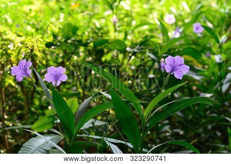 Wild Petunia Or Ruellia Brittoniana Flowers In Outdoor