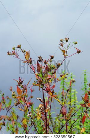 Medicinal Plant Bur Beggar-ticks, Tripartite Bur-marigold (bídens Tripartíta) On The Background Of W