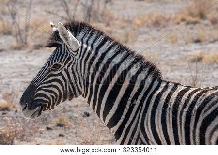 Burchells Zebra, Equus Quagga, Formerly Equus Burchelli, Close-up Head In Etosha National Park, Nami