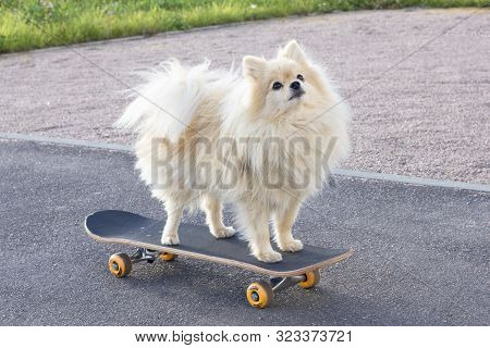 Happy Cute Pomeranian Spitz Dog Standing, Riding On Skateboard. Funny Fluffy Puppy Skateboarding, Sk