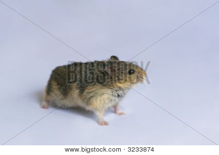 Campbell'S Dwarf Hamster On Gray Background