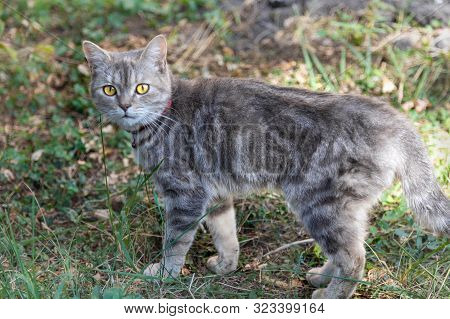 Young British Shorthair Grey Cat Looking Attentively Into The Camera.  Cat, British, Fur, Grey, Ador