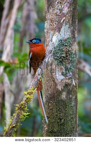 Beautiful Small Madagascar Bird, Paradise-flycatcher, Terpsiphone Mutata. Andasibe - Analamazaotra N