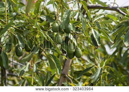 Cultivation Of Tasty Hass Avocado Trees, Organic Avocado Plantations In Costa Tropical, Andalusia, S