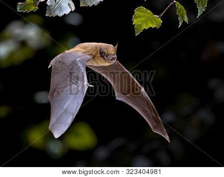 Flying Pipistrelle Bat (pipistrellus Pipistrellus) Action Shot Of Hunting Animal In Natural Forest B