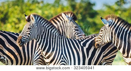 Three Common Zebra (equus Quagga) Grooming Each Other In Bushveld Savanna Of Kruger National Park So