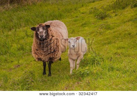 Female Sheep With Her Lamb Staning At The Base Of A Dike