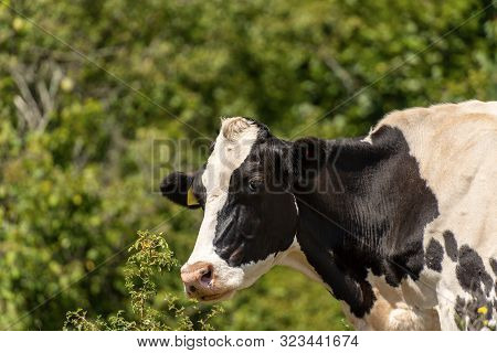 Portrait Of A White And Black Dairy Cow With Green Trees On The Background, Friesian Cattle, Italian