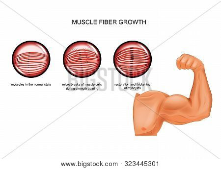 Vector Illustration Of Muscle Fiber Growth After Training