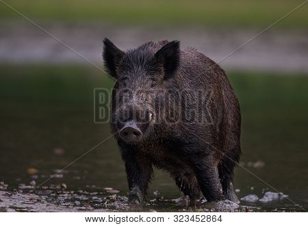 Wild Boar (sus Scrofa Ferus) Standing In Shallow Water And Looking In Camera. Wildlife In Natural Ha
