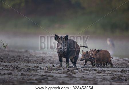Wild Boar Female (sus Scrofa Ferus) Walking On Mud Beside River With Her Piglets