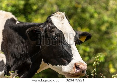 Friesian Cattle, Head Of A White And Black Dairy Cow. Italian Alps, Europe
