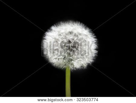 White Dandelion On Isolated Black Background. Fluffy Dandelion Seeds. Dandelion Close Up Macro. A Si
