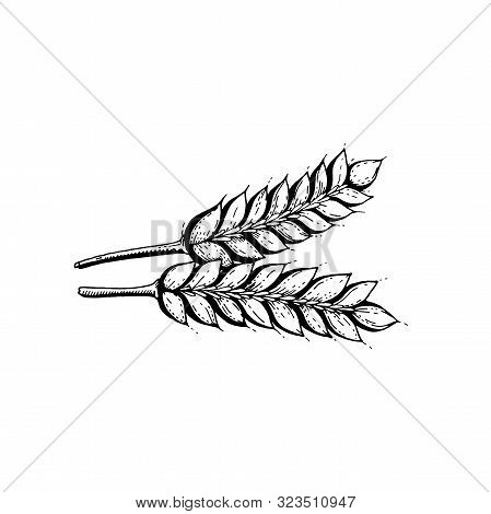 Vector Illustration Of Hand Draw Wheat Ears. Cereal Bread Sketched Concept. Black Line Art Drawing,