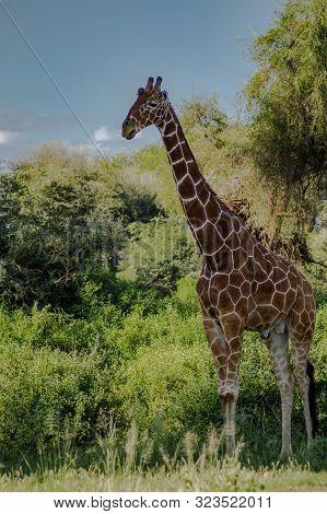 Giraffe Crossing The Trail In Samburu Park In Central Kenya