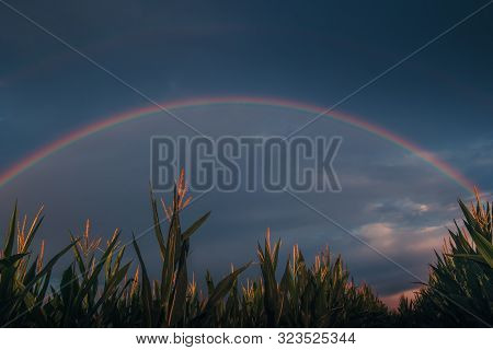 Rainbow Over A Rural Farm Corn Field In The Midwest. Prism Of Colors. Dramatic Weather At Sunrise.