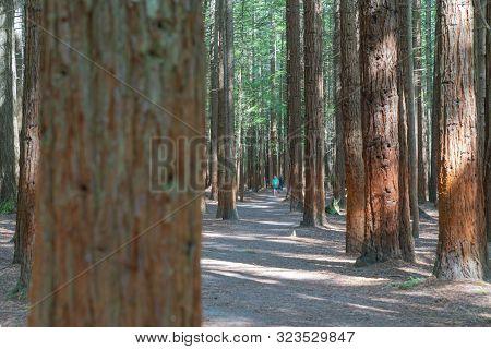 Tall Trees And Walking Path Through Whakarewarewa Redwood Forest In Rotorua.