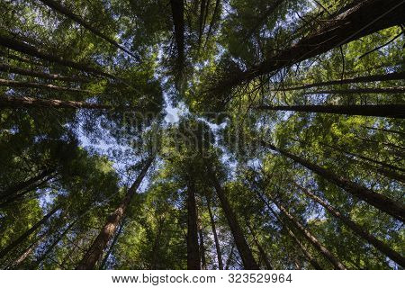 Whakarewarewa Redwood Forest In Rotorua Converging Tree Trunks And Foliage From Low Point Of View.