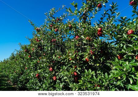 Apple Harvest In The Old Land Hamburg