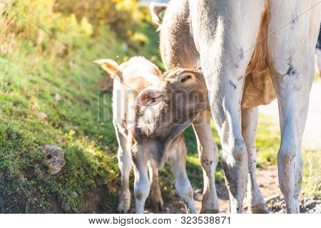 Image Of A Cow Feeding Its Baby Calf With Milk In Nature.