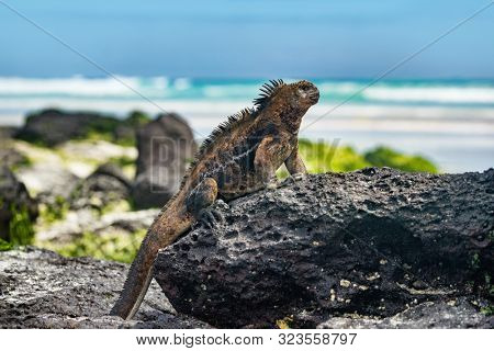 Galapagos Iguana heating itself in the sun resting on rock on Tortuga bay beach, Santa Cruz Island. Marine iguana is an endemic species in Galapagos Islands Animals, wildlife and nature of Ecuador.