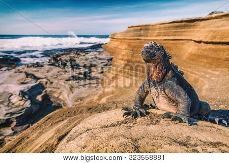 Galapagos Islands Marine Iguana - Iguanas warming in the sun on volcanic rocks on Puerto Egas (Egas port) Santiago island, Ecuador. Amazing wildlife animals on Galapagos Islands, Ecuador.
