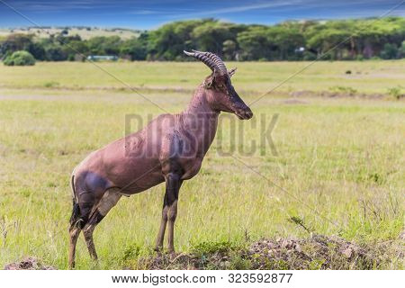 Africa. Beautiful herbivore - Antelope Roan in the grassy savannah. The famous Masai Mara Reserve in Kenya. The concept of ecological, exotic and photo tourism