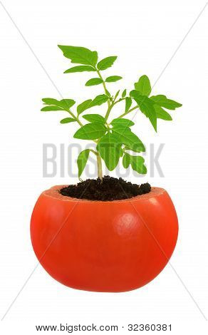 Young tomato plant growing evolution concept isolated on white
