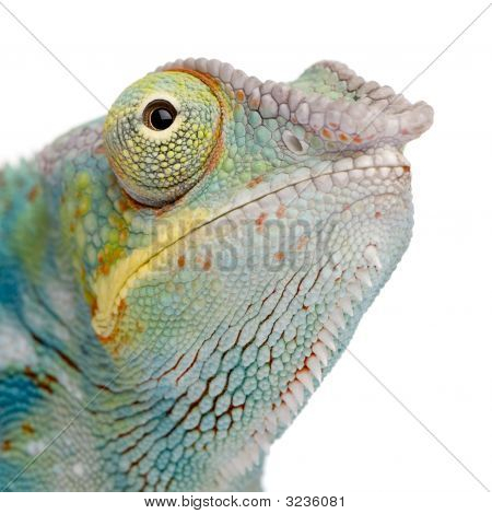 Young Chameleon Furcifer Pardalis - Ankify (8 Months)