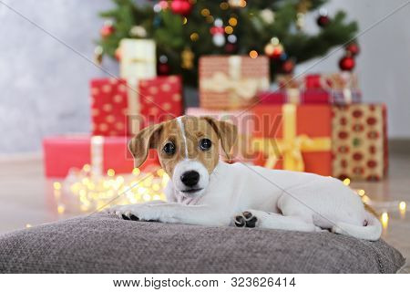 Jack Russell Terrier As Christmas Present For Children Concept. Two Months Old Adorable Doggy On The