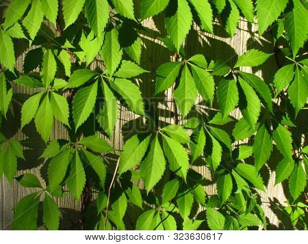Parthenocissus Quinquefolia, English Virginia Creeper, Victoria Creeper, Five-leaved Ivy, Climbing O