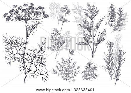 Dill, Coriander Or Cilantro, Thyme, Parsley, Lovage, Estragon Or Tarragon, Rosemary. Illustration Of