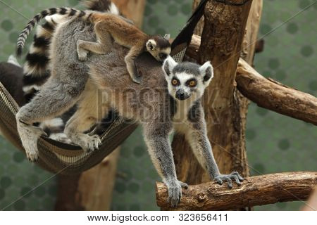 Ring-tailed lemur (Lemur catta) with its newborn baby in the back.