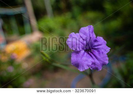 Purple Ruellia Tuberosa Flower In Nature Garden. Close Up Purple Ruellia Tuberosa Flower In Nature G