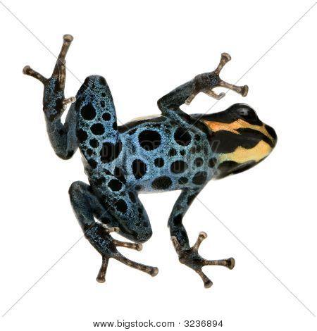 Poison Dart Frog - Ranitomeya Amazonica Or Dendrobates Amazonicus