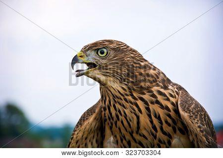 Hawk Portrait. Birds Of Prey In Nature.