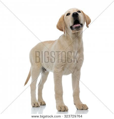 panting adorable labrador retriever puppy stands and looks up on white background