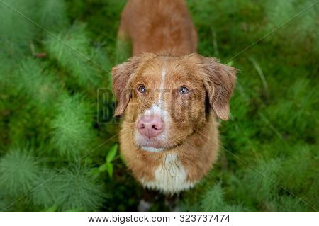 Wet Dog In The Forest. Nova Scotia Duck Tolling Retriever For A Walk