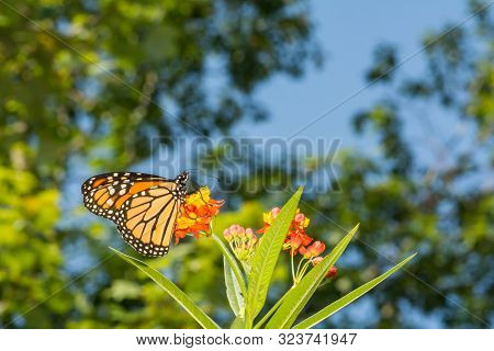 A Monarch Butterfly Feeding On Milkweed An A Monarch Waystation In New England.