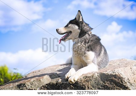 Husky Breed Dog On Top Of The Mountain. Traveling With Huskies