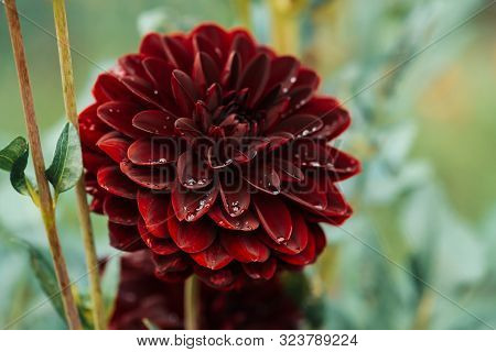 Beautiful Burgundy Dahlia Close-up. Wonderful Blooming Maroon Flower In Macro On Natural Grass Backd