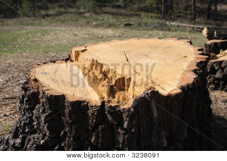 Big Tree Stump