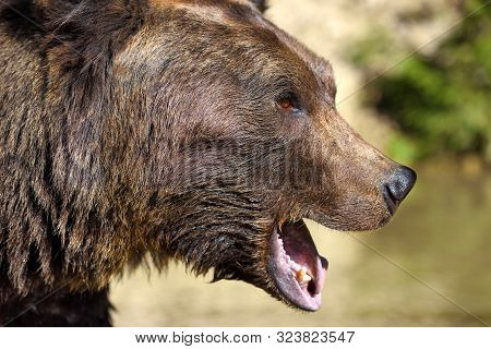Brown Bear Portrait. Side View Of Bear Face. Roaring A Warning
