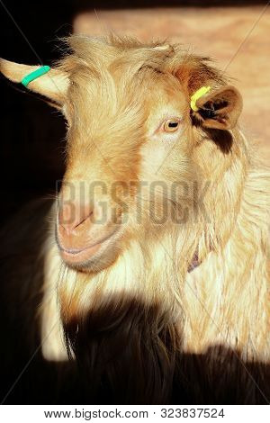 The Head Of A Single Brown Goat