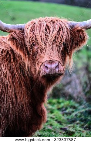 Head Of Male Highland Cattle With Horns