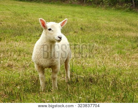 A Single Young Lamb In Grassy Field