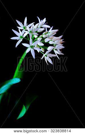 Single Stem Of Wild Garlic Flower On A Black Background