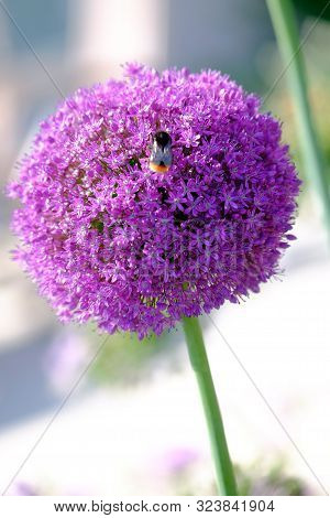 Close Up Of Allium Flower Bloom And Bee