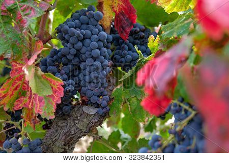 Close Up Of Berries And Leaves Of Grape-vine. Beautiful Bunch Of Ripe Red Wine Grapes On A Vine On R